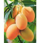 Mango Essential Oil Natural & Pure -- 10 Gram Bottle